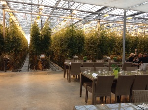 Tomato greenhouse in Iceland